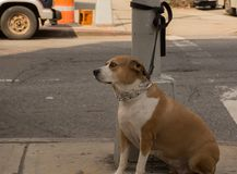 Dog chained at a pole on the side walk. In Brooklyn New York Royalty Free Stock Images