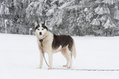 Alaskan malamute dog in chain at winter. A photo of a chained alaskan malamute dog standing on a snowy field in winter Royalty Free Stock Photos