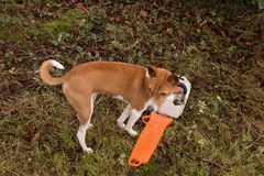 Dog with Chainsaw, still sheathed Stock Images