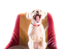 The Dog on the chair. The Dog gape on the chair on white background Royalty Free Stock Photos