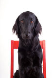 Dog on a Chair Royalty Free Stock Photography