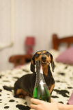 The dog with a champaign. The dog with and a champaign bottle bed stock photos