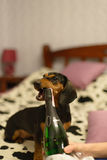 The dog with a champaign. The dog with and a champaign bottle bed stock image