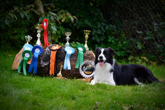 Dog champion. Border Collie dog champion with many cups and cockade royalty free stock image