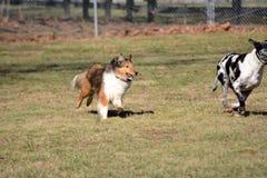 Dog chase Stock Photos