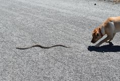 Dog Chases Snake Stock Image