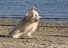 Dog chasing. Dog making tight running turn on beach stock photos
