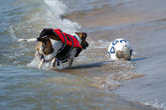 dog Chasing soccer ball Royalty Free Stock Image