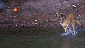 Dog Chasing Ball Stock Image