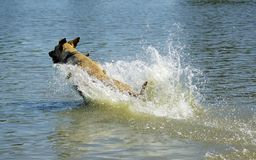 Dog Chasing Ball. Dog (yellow lab) bounding through the water chasing a ball Stock Images