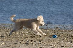 Dog chasing ball. White dog chasing ball on beach Stock Images