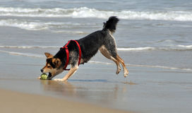 Dog chasing ball on the beach Stock Photos