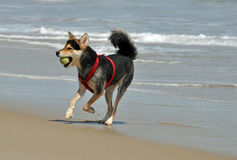 Dog chasing ball on the beach Stock Image