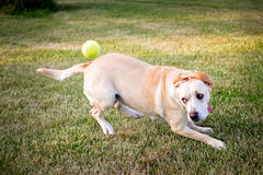 Dog chasing a ball Royalty Free Stock Images