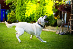 Dog chasing the ball. Small girl running away from the dog in the garden Stock Image