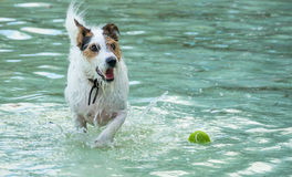 Dog chasing ball in water Royalty Free Stock Photo