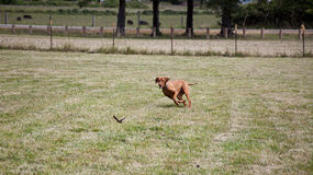 Dog Chasing Bird Royalty Free Stock Image