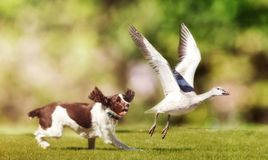 Dog Chasing Bird in Field. English Springer Spaniel dog chasing large Snow Goose in open field royalty free stock image