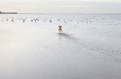 Dog Chasing Birds At The Ocean Beach. Rear view of mixed breed dog chasing birds at the ocean beach stock images