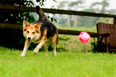 Dog chasing ball. Cross breed corgi type dog chasing bouncing pink ball in garden Stock Images