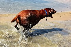 A dog chasing flies by the water.  royalty free stock image