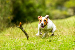 Dog Chasing A Piece Of Wood At High Speed. Jack Russell Parson Terrier Chasing His Toy At Full Speed Low Angle Fast Action Shot Stock Photography
