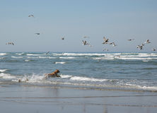 A dog chasing seagulls at the beach Royalty Free Stock Photo