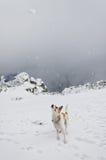 Dog chasing a snowball Royalty Free Stock Photos