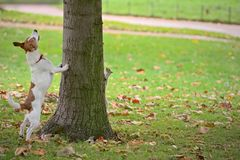 Dog chasing squirrel up tree, but it is hiding. Frustrated dog (Parson Jack Russell terrier) chasing a grey squirrel up a tree.  But the squirrel is hiding on Royalty Free Stock Image
