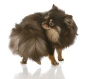 Dog chasing tail. Pomeranian puppy chasing her tail or smelling her backside stock photos