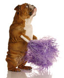 Dog with cheerleader pompoms Stock Photo
