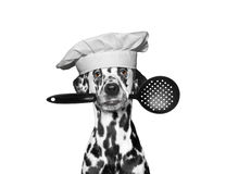Dog chef holding a spoon in his mouth Stock Photo