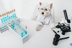 Dog in chemical laboratory. Cute dog in eyeglasses and shirt working in chemical laboratory Royalty Free Stock Photo