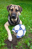 Dog with chewed ball Royalty Free Stock Photos