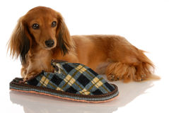Dog with chewed slipper Royalty Free Stock Photo