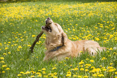Free Dog Chewing A Stick Royalty Free Stock Photo - 5137295