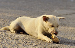 Dog chewing big bone Stock Photography