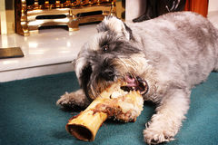 Dog chewing bone Stock Image