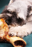 Dog chewing bone Stock Photo