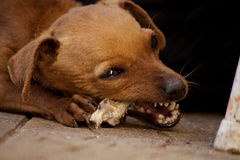 Dog chewing a bone Stock Images