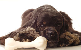 Dog chewing on bone. American cocker spaniel chewing on doggy bone Royalty Free Stock Images