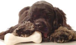 Dog chewing on bone. American cocker spaniel chewing on dog bone Stock Photo