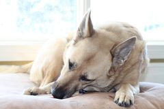 Dog chewing bone on bed. Dog eating a bone on his bed in the house Stock Images
