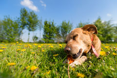 Dog chewing on bone. Dog laying outside in the dandelions and is chewing on bone Stock Photo