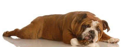 Dog chewing on dog bone. English bulldog lying down chewing on dog bone Royalty Free Stock Photography