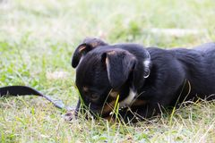 Dog chewing on leash. Closeup of a mixed breed dog laying in grass, chewing on his own leash Stock Photography
