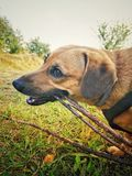 Dog chewing royalty free stock image
