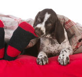 dog chewing on owners toes Stock Photo