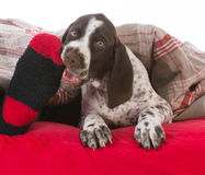 Dog chewing on owners toes Royalty Free Stock Photos