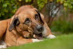 Dog chewing stick. Mixed-breed dog lying on grass, chewing a stick, horizontal Stock Photos